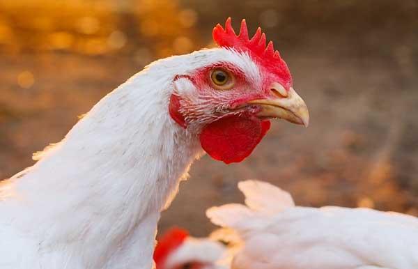 برنامه نوری مرغ های گوشتی - اندیشه سبز