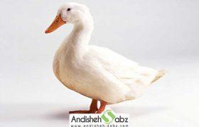 بیماری تورم کلوآک در اردک ها