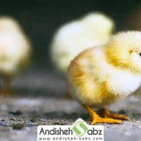 بیماری و دلیل ناهنجاری لنگیدن در جوجه مرغ ها - اندیشه سبز