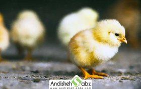 بیماری و دلیل ناهنجاری لنگیدن در جوجه مرغ ها
