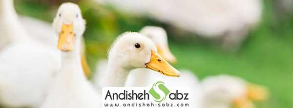 بیماری های شایع در بین اردک ها
