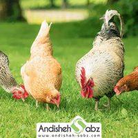 تغذیه و جیره غذایی مرغ - فروشگاه اینترنتی اندیشه سبز