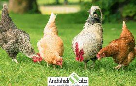 تغذیه و جیره غذایی مرغ