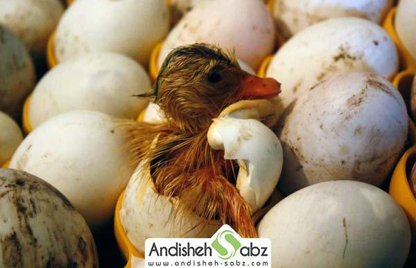جوجه کشی از تخم اردک