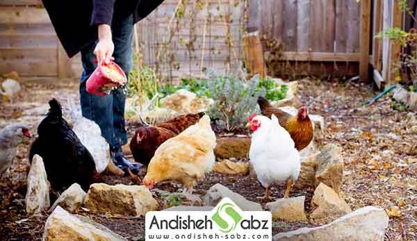 جیره غذایی مرغ ها - فروشگاه اینترنتی اندیشه سبز
