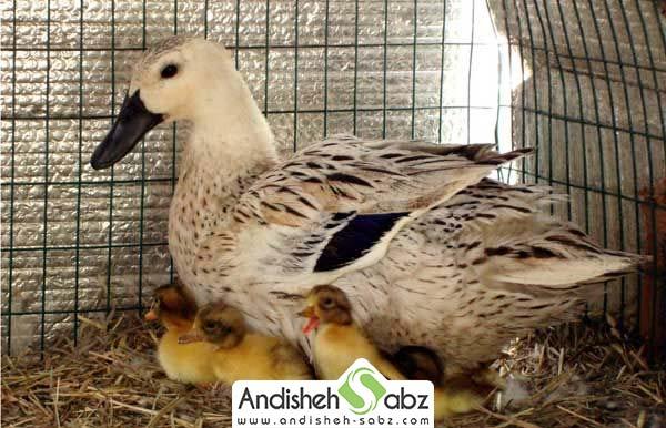 ساخت لانه برای اردک ها