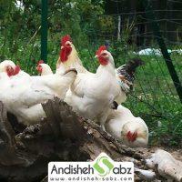 شرایط مناسب پرورش مرغ گوشتی - فروشگاه اینترنتی اندیشه سبز