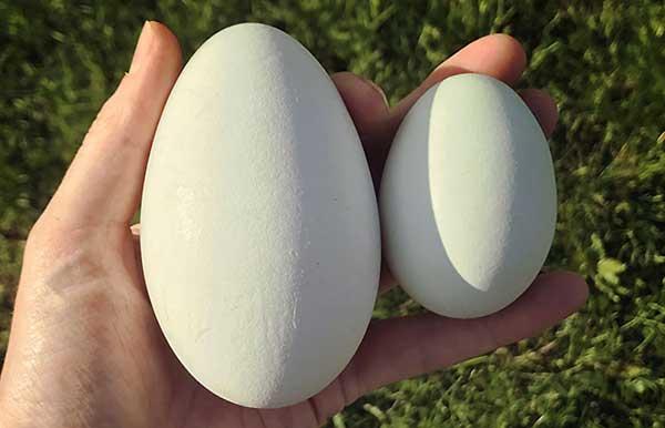 فصل تخمگذاری و تولید مثل نژاد امبدن - اندیشه سبز
