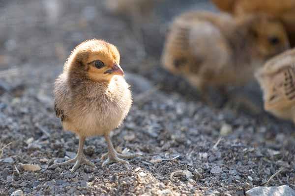 درمان لنگیدن پای جوجه مرغ - فروشگاه اینترنتی اندیشه سبز
