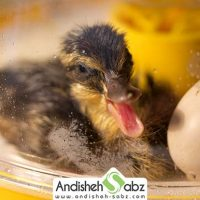 مراحل جوجه کشی از اردک