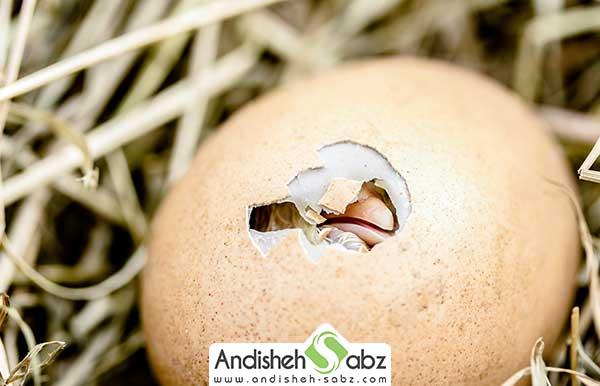 مراحل جوجه کشی از مرغ