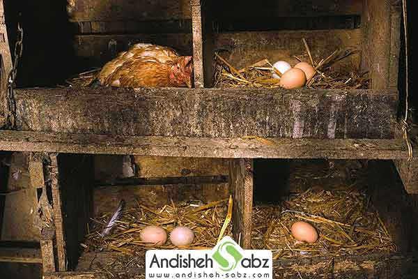 مرغ تخم گذار - فروشگاه اینترنتی اندیشه سبز