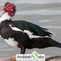 معرفی اردک نژاد مسکویی