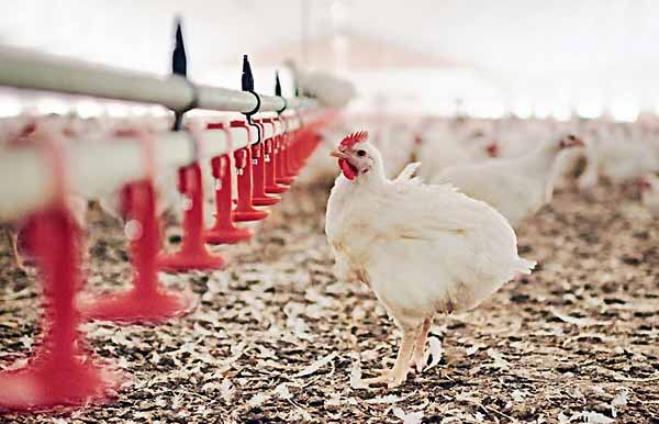 ملزومات و تجهیزات لازم برای سالن پرورش مرغ گوشتی - اندیشه سبز