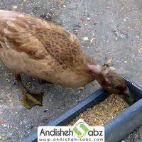 مواد مغذی برای تغذیه اردک ها