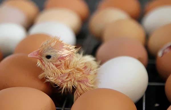 پارامترهای لازم برای جوجه گیری از تخم های نطفه دار - اندیشه سبز