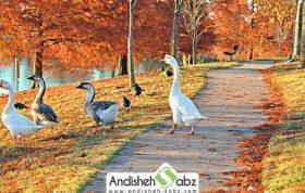 پرورش و نگهداری از مرغابی و یا اردک