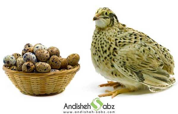 بلدرچین تخم گذار