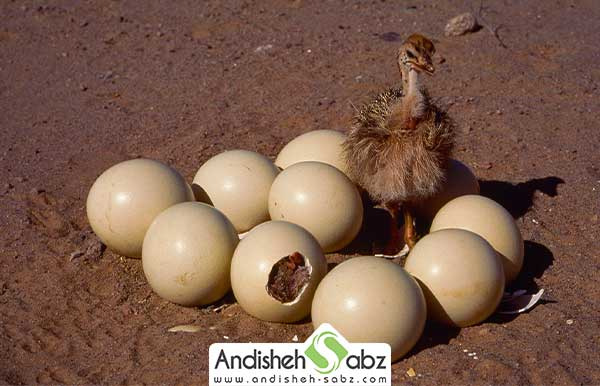 تخم های نطفه دار جوجه شده پرنده شترمرغ