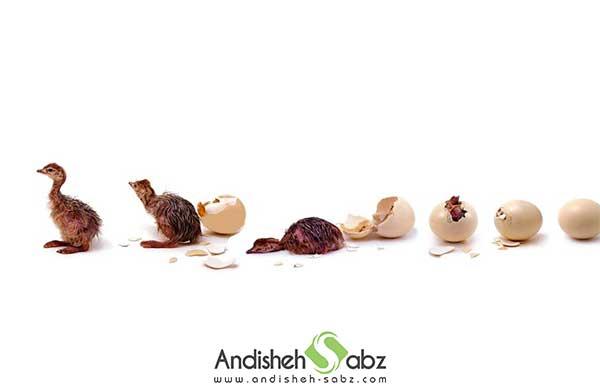 پارامترهای لازم برای جوجه کشی از تخم شترمرغ