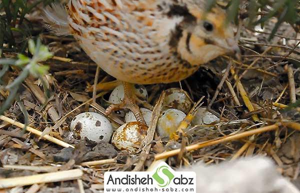 پرورش نژاد بلدرچین تخمگذار
