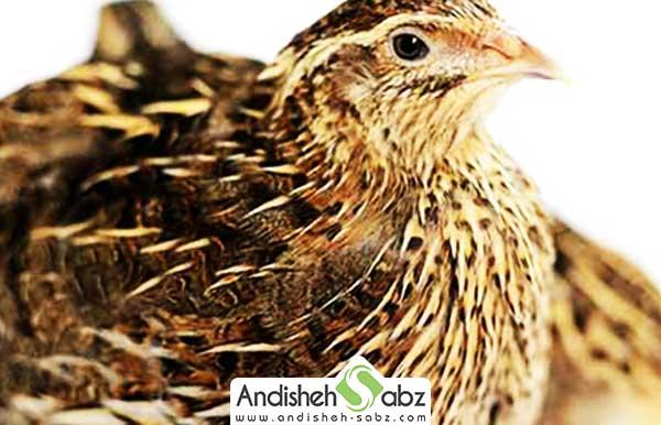 پرورش پرنده quail