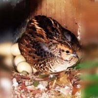 افزایش تخم گذاری بلدرچین ها