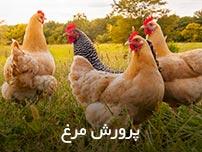 پرورش مرغ
