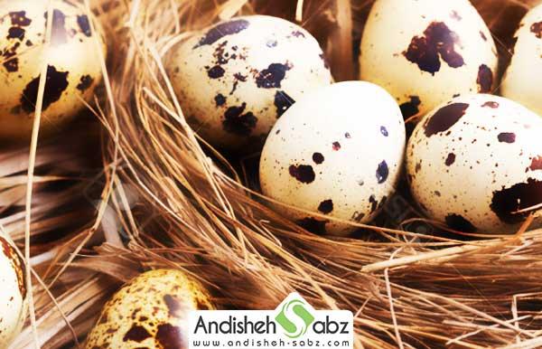 تخم پرنده بلدرچین
