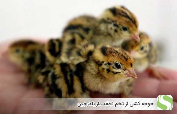 جوجه کشی از تخم نطفه دار بلدرچین - اندیشه سبز