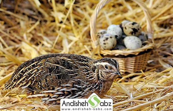 عامل مؤثر برای افزایش تخم گذاری بلدرچین - اندیشه سبز