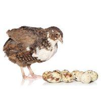 پرنده بلدرچین