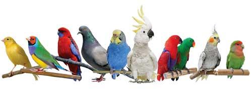 امکان جوجه کشی از پرندگان زینتی