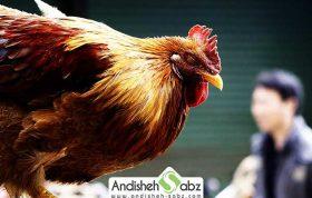 بیماری برونشیت مرغ