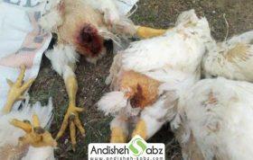 بیماری کانیبالیسم مرغ