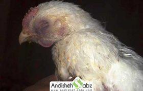 بیماری گامبورو در مرغ