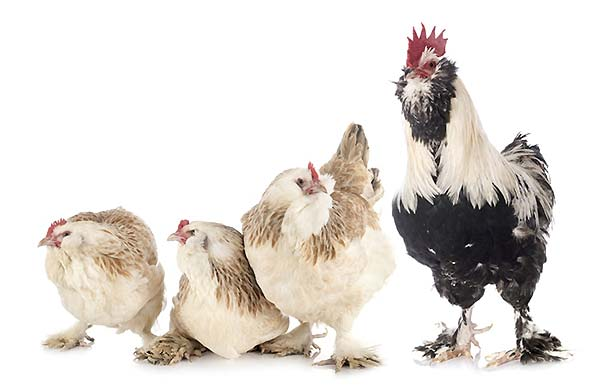 تاریخچه مرغ فاورولس - اندیشه سبز