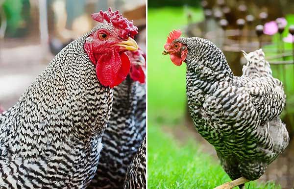 ظاهر مرغ دومینیک و استاندارد آن - اندیشه سبز