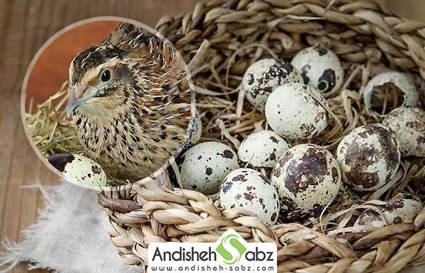 عوامل موثر در افزایش تخم گذاری بلدرچین ها - اندیشه سبز