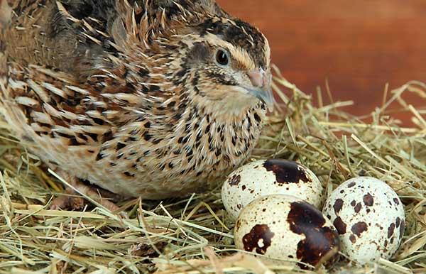 عوامل موثر قبل از شروع تخم گذاری بلدرچین - اندیشه سبز