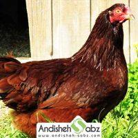 مرغ بوکی آیز (bucheye)