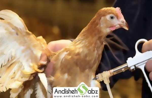 واکسن مرغ
