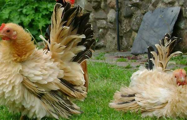 ویژگی های ظاهری مرغ فریزل - اندیشه سبز