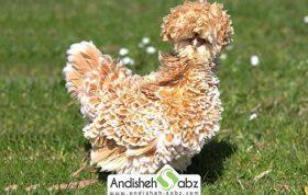 مرغ نژاد frizzle