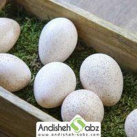 بهترین نوع تخم بوقلمون برای جوجه کشی