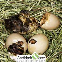 جوجه کشی اردک به روش سنتی