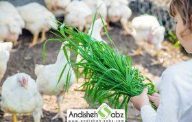 پرورش مرغ گوشتی در خانه