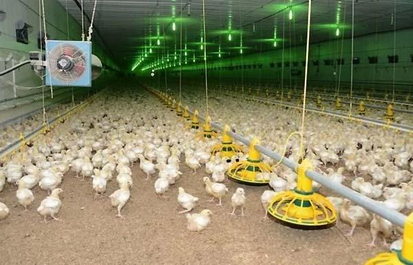 اقدامات لازم جهت حفظ بیشتر گرما و صرفه جویی در مصرف سوخت مرغداری - اندیشه سبز