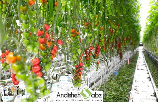 شرایط دمایی مناسب در گلخانه گوجه فرنگی - اندیشه سبز