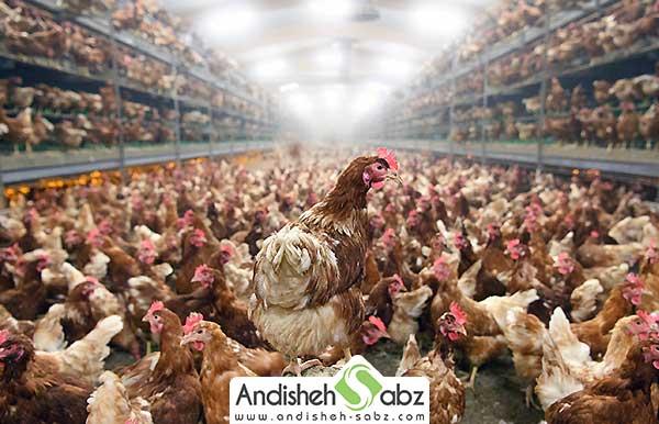 اصول گرمایش در مرغداری ها گوشتی - فروشگاه اندیشه سبز